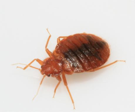 Bed Bugs Glen Environmental